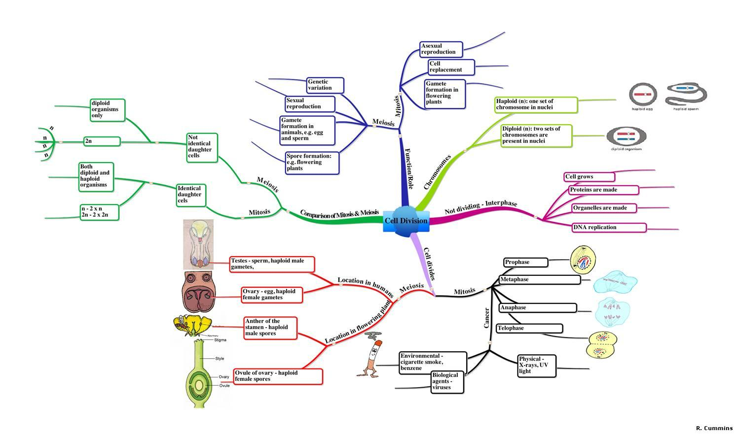 Mr c biology 14 cell division mind map pooptronica Images